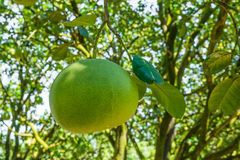 Pomelo fruit. Close up in the garden Royalty Free Stock Image