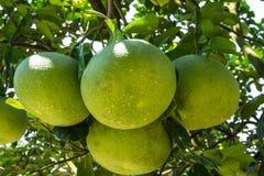Pomelo fruit. Close up in the garden Royalty Free Stock Photos