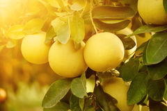Pomelo fruit in garden. Ripe pomelo fruits hang on the trees in the citrus garden. Harvest of tropical pomelo in orchard. Pomelo is the traditional new year food Stock Image