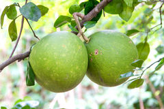 Pomelo fruit Stock Photography