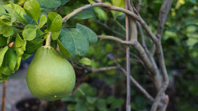 Pomelo Fruit Royalty Free Stock Photography