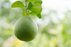 Pomelo fruit Royalty Free Stock Photos