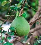 Pomelo fruit Stock Photo