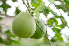 Pomelo fruit Stock Images