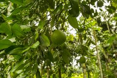 Pomelo fruit tree. The pomelo, Citrus maxima or Citrus grandis, is the largest citrus fruit from the Rutaceae family. It is a natural citrus fruit, similar in royalty free stock photo