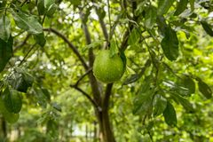 Pomelo fruit tree. The pomelo, Citrus maxima or Citrus grandis, is the largest citrus fruit from the Rutaceae family. It is a natural citrus fruit, similar in stock image