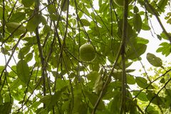 Pomelo fruit tree. The pomelo, Citrus maxima or Citrus grandis, is the largest citrus fruit from the Rutaceae family. It is a natural citrus fruit, similar in stock images