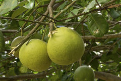Pomelo fruit on tree Royalty Free Stock Photography