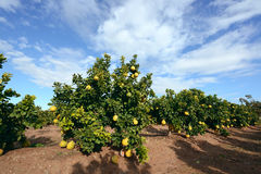 Pomelo fruit on the tree Stock Photography