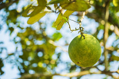Pomelo fruit tree in the garden Royalty Free Stock Image