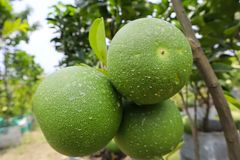 Green Pomelo Fruits in Tree stock images