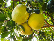 Pomelo fruits Royalty Free Stock Photos