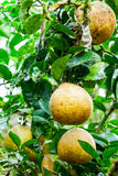 Pomelo fruits Royalty Free Stock Images