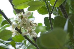 Pomelo, Grapefruit Flowers Stock Photos