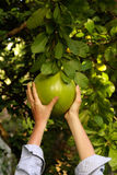 Pomelo and hands. Big tropical ftuit pomelo (grapefruit Stock Image