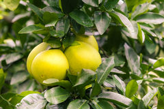 Pomelo hanging on tree Stock Image
