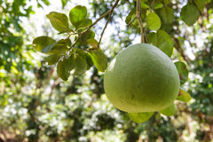 Pomelo. Image of a pomelo growing in an orchard Stock Image