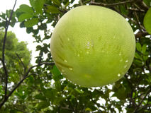 Pomelo, the largest citrus fruit. Agriculture citrus dessert diet exotic food, fresh, freshness fruit green health healthy isolate juicy, natural organic piece Royalty Free Stock Image
