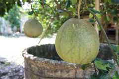 Pomelo orchards Stock Photography