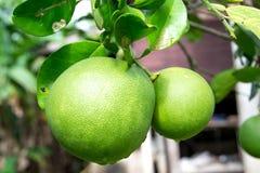 Pomelo owoc Fotografia Royalty Free