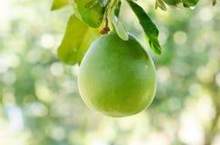 Pomelo owoc fotografia stock