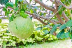 Pomelo owoc Zdjęcia Stock