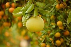 Pomelo owoc w ogródzie Fotografia Stock