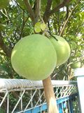 Pomelo pummelo tree and fruit. Pomelo pummelo citrus maxima fruit on the  tree Royalty Free Stock Image