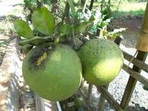 Pomelo pummelo fruit. Pomelo pummelo citrus maxima fruit on tree Royalty Free Stock Photo