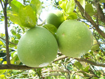 Pomelo pummelo Stock Images
