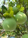 Pomelo pummelo Royalty Free Stock Photo