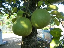 Pomelo pummelo tree. And the fruits Stock Images