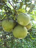 Pomelo pummelo tree. And the fruits Stock Image