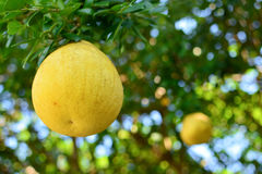 Pomelo on a tree Stock Photo