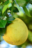 Pomelo on a tree Stock Image