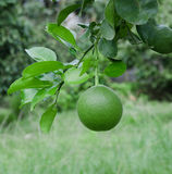Pomelo on the tree Royalty Free Stock Photos