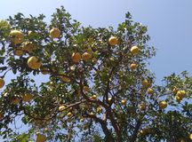 Pomelo  tree Royalty Free Stock Image