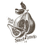Pomelo vector logo design template. fresh fruit Royalty Free Stock Photos