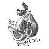 Pomelo on white background. sketch Royalty Free Stock Photo