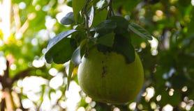 Pomelofrukt på träd i trädgården royaltyfria bilder