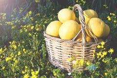 Pomelos en una cesta en el jardín fotografía de archivo libre de regalías