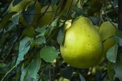 The pomelos fruit closeup Stock Photos