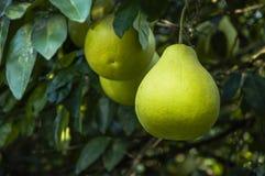 The pomelos fruit closeup Stock Photography