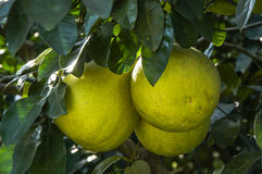 The pomelos fruit closeup Royalty Free Stock Photography