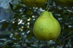 The pomelos fruit closeup Stock Images