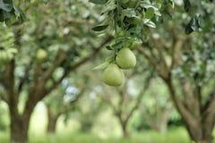 Pomeloträd Arkivbilder