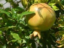 Pomengranate - toppna foods Arkivbild