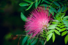 Pomerac blomma arkivfoto