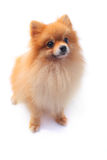 Pomeranain dog Stock Image