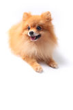 Pomeranain dog Royalty Free Stock Photography